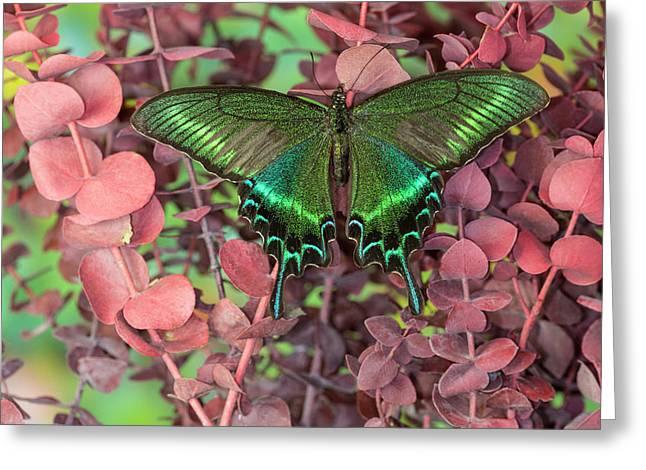 Alpine Black Swallowtail Butterfly Greeting Card by Darrell Gulin