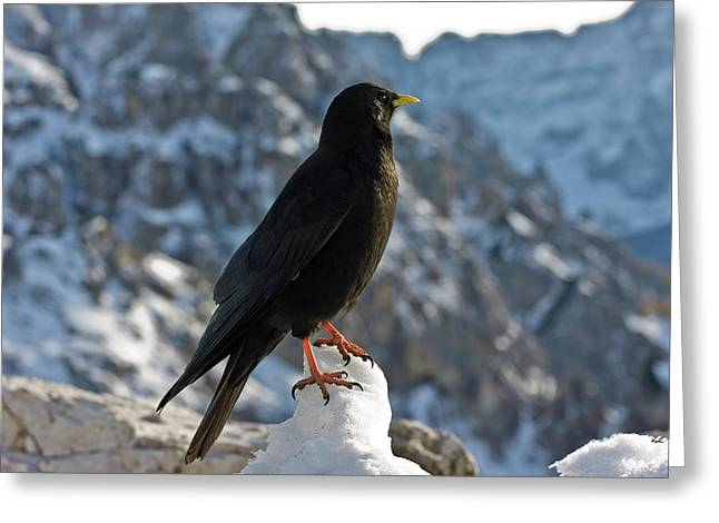 Alpine Chough Greeting Card by Bob Gibbons