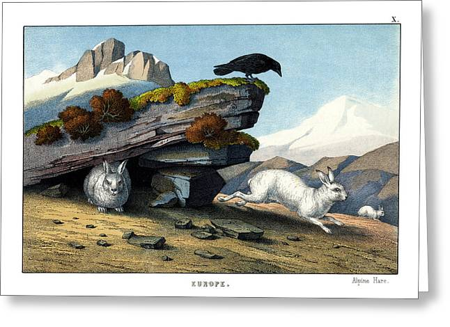 Alpine Hare Greeting Card by Splendid Art Prints