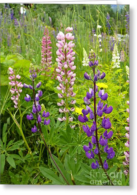 Alpine Lupines Greeting Card
