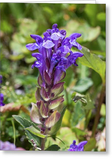 Alpine Skullcap (scutellaria Alpina) Greeting Card by Bob Gibbons