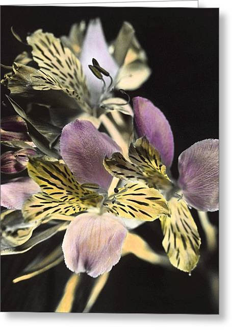 Greeting Card featuring the photograph Alstroemeria by Lana Enderle