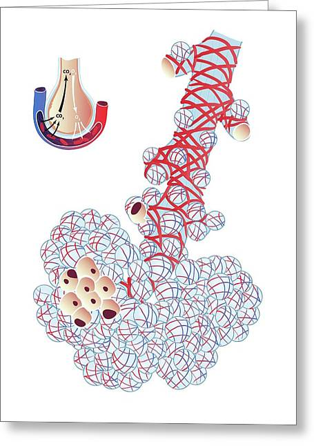 Alveoli In The Lung Greeting Card by Jeanette Engqvist