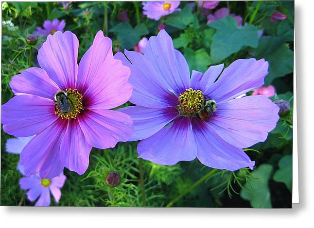 Always Loved Cosmos Greeting Card by Shirley Sirois