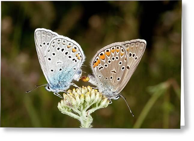 Amanda's Blue Butterflies Mating Greeting Card