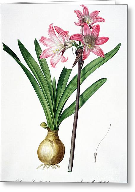 Amaryllis Belladonna From Les Liliacees Engraved By De Gouy Greeting Card by Pierre Joseph Redoute