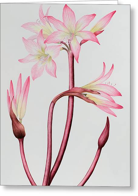 Amaryllis Belladonna Greeting Card