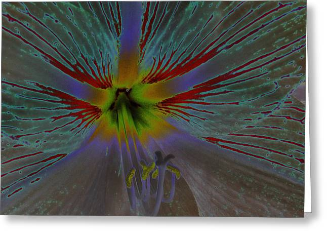Amaryllis Colors Greeting Card by D Hackett