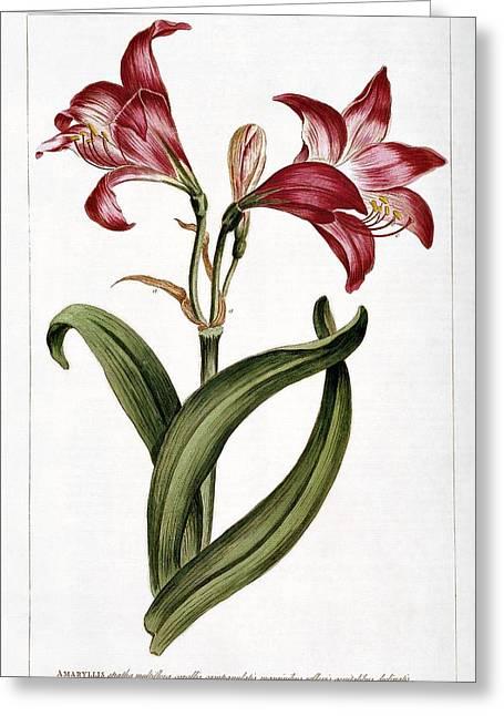 Amaryllis Flower Greeting Card