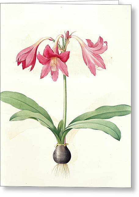 Amaryllis Reticulata, Hippeastrum Reticulatum Amaryllis En Greeting Card by Artokoloro