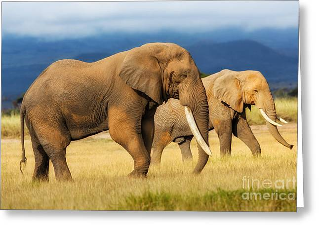 Amazing Grazing Elephant Bull In Amboseli National Park  Greeting Card by Maggy Meyer