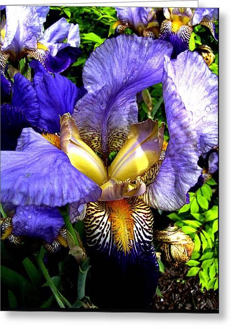 Amazing Iris Greeting Card by Michele Avanti