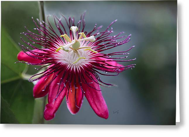 Amazing Passion Flower Greeting Card by Penny Lisowski