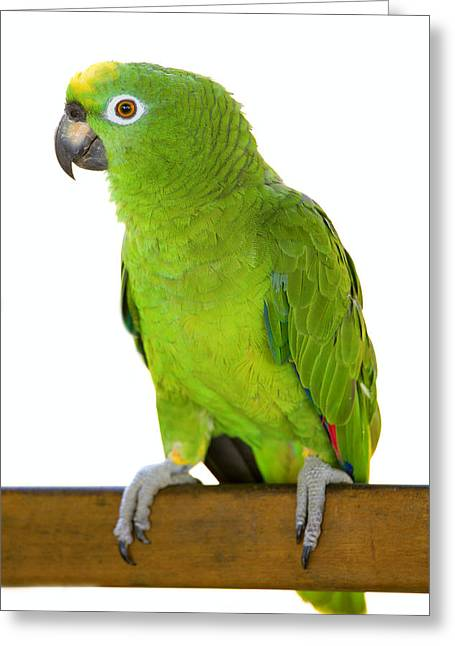Amazon Parrot Greeting Card by Alexey Stiop