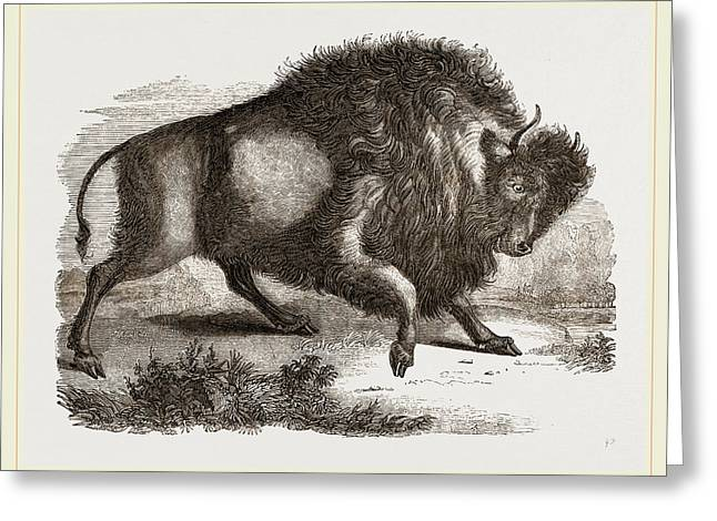 Amercan Bison Greeting Card by Litz Collection