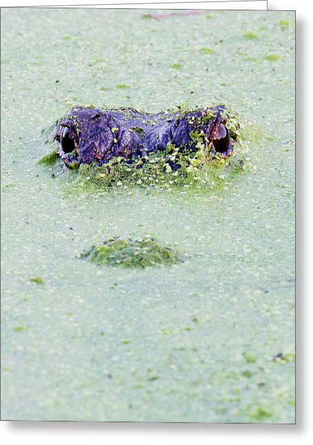 American Alligator, Alligator Greeting Card by Larry Ditto
