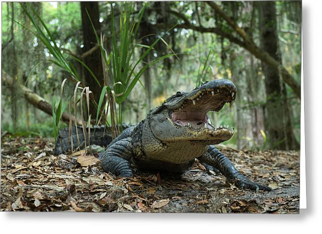 American Alligator (alligator Greeting Card by Pete Oxford