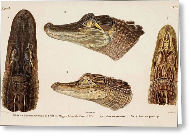 American Alligator Greeting Card by Natural History Museum, London/science Photo Library
