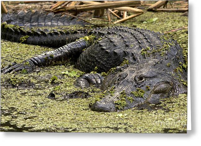 American Alligator Smile Greeting Card