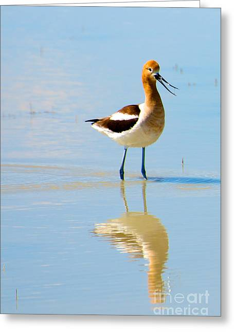Greeting Card featuring the photograph American Avocet by Vinnie Oakes