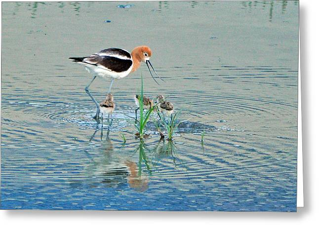 Greeting Card featuring the photograph American Avocet With Young by Lula Adams