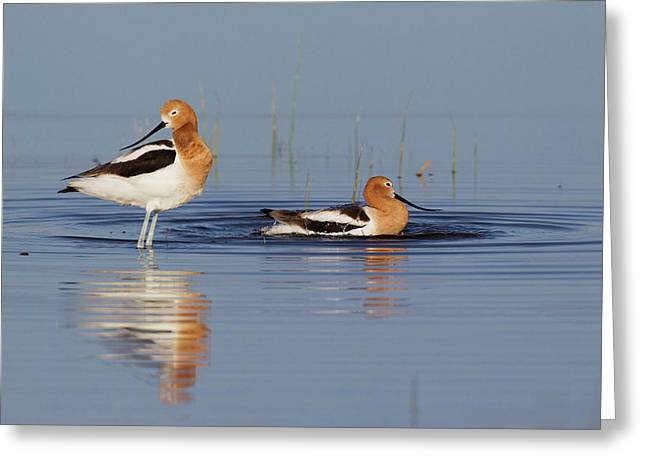 American Avocets Bathing Greeting Card by Ken Archer