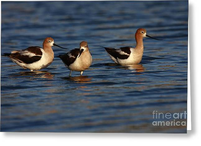 American Avocets Greeting Card