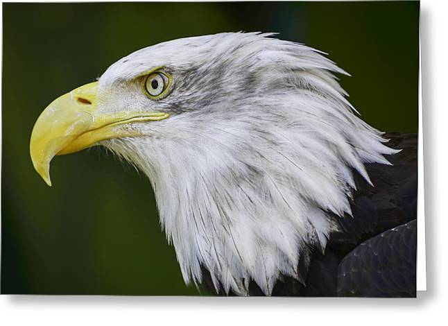 American Bald Eagle Greeting Card by Chris Malone