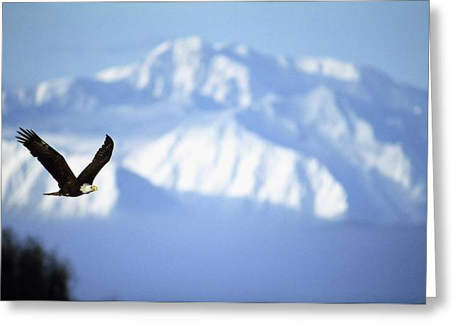 American Bald Eagle In Flight Greeting Card