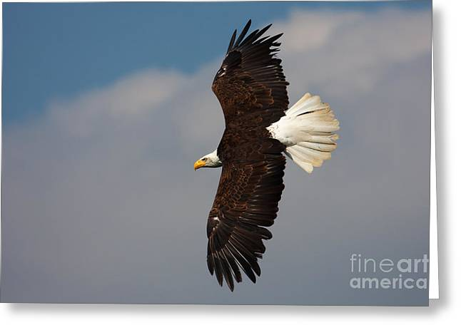 American Bald Eagle In Flight Greeting Card