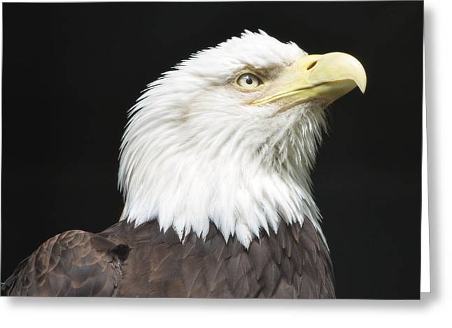 American Bald Eagle Profile Greeting Card