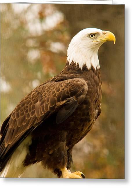 American Bald Eagle Resting Greeting Card by Douglas Barnett