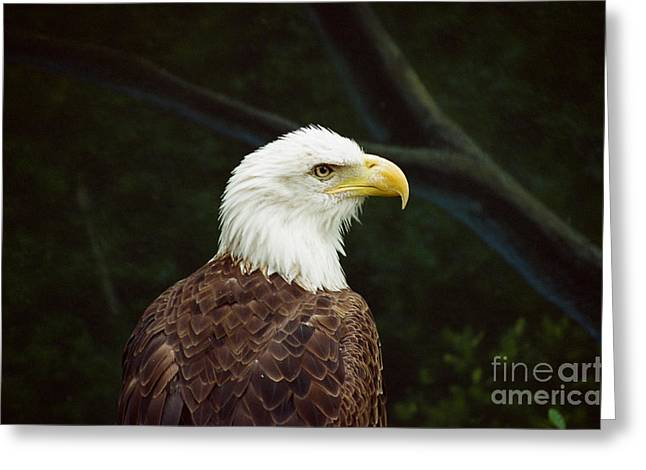 American Bald Eagle Greeting Card by Vinnie Oakes