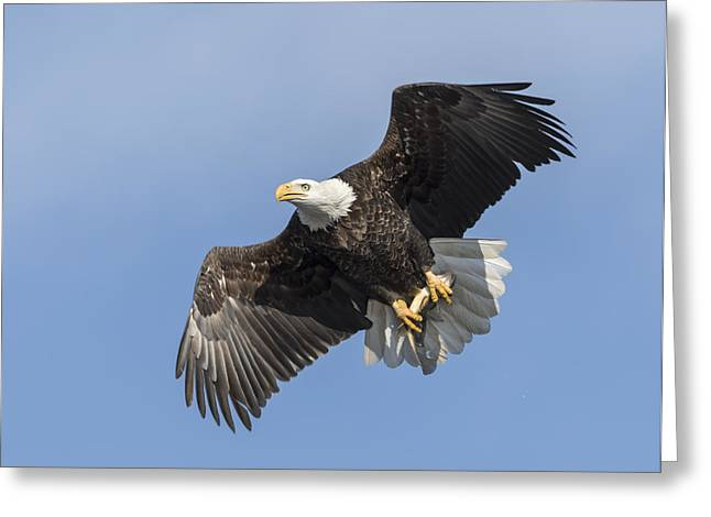 American Bald Eagle With A Fish 1 Greeting Card