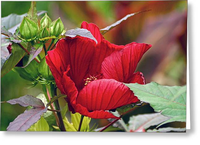 American Beauty --- Hibiscus Coccineus Greeting Card by Byron Varvarigos