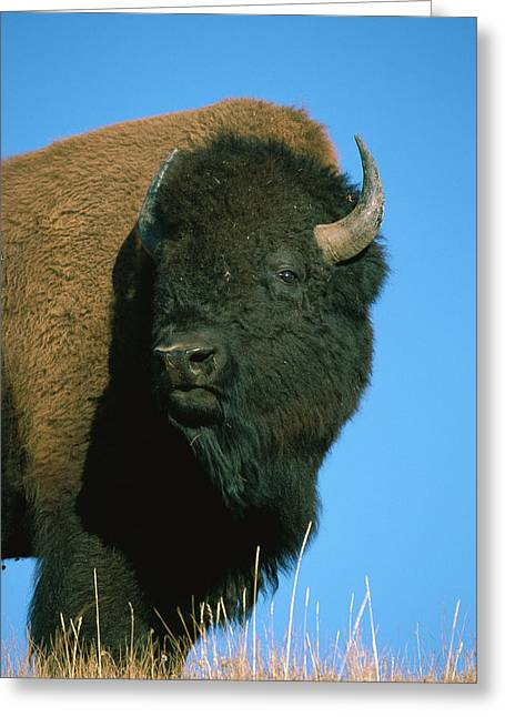 American Bison Bull Greeting Card by Ingo Arndt