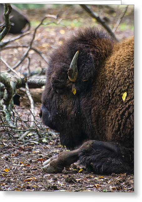 american Bison Greeting Card by Chris Flees