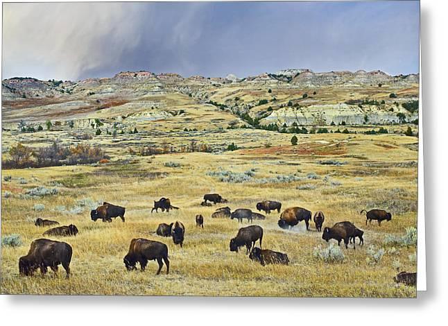 American  Bison Herd Grazing Greeting Card by Tim Fitzharris