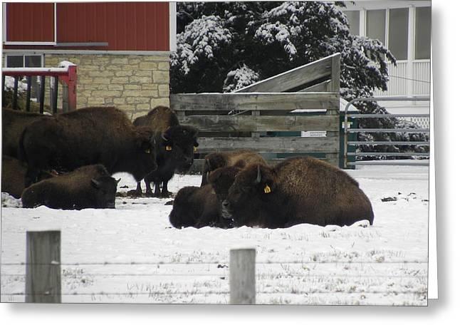 American Bison Greeting Card
