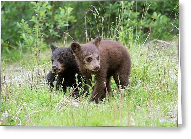 American Black Bear Cubs Greeting Card by Dr P. Marazzi