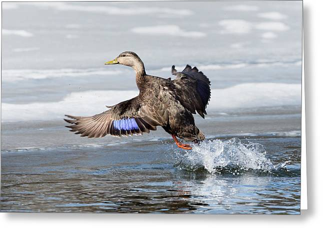 American Black Duck Greeting Card by Bill Wakeley