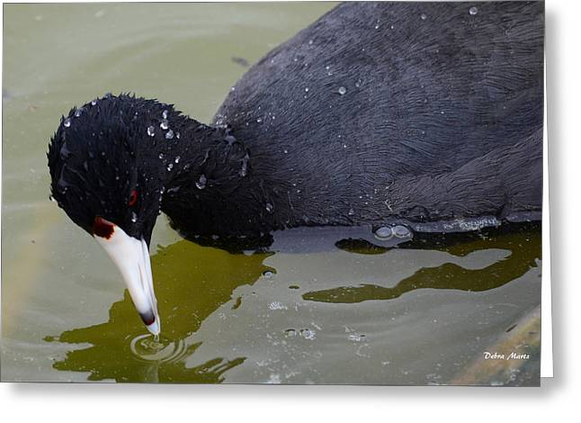 Greeting Card featuring the photograph American Coot by Debra Martz