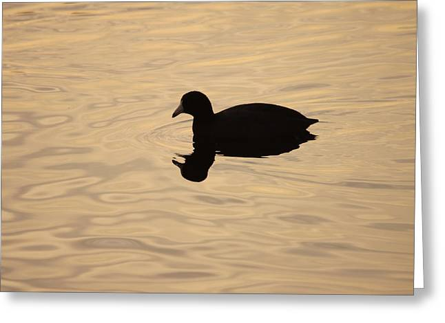 American Coot Silhouette Greeting Card