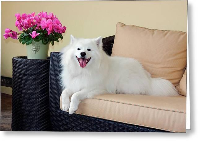 American Eskimo Lying On Patio Couch Greeting Card by Zandria Muench Beraldo