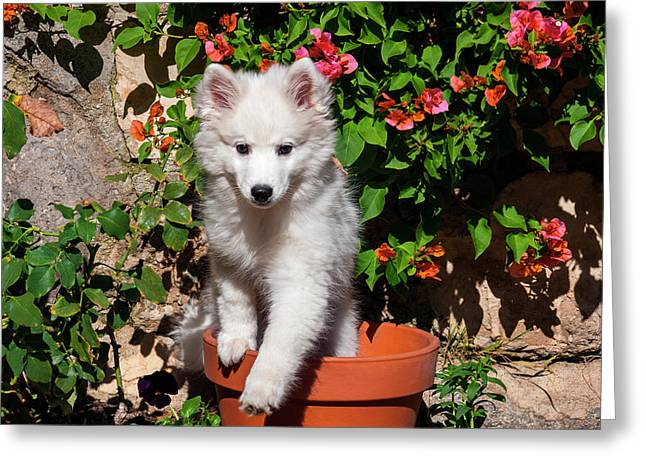 American Eskimo Puppy In A Garden Greeting Card by Zandria Muench Beraldo