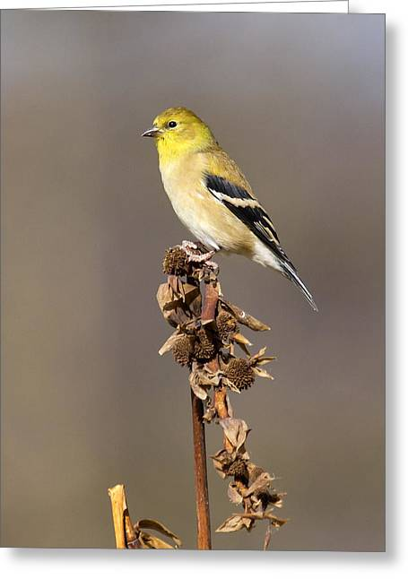 American Goldfinch 9 Greeting Card by David Lester