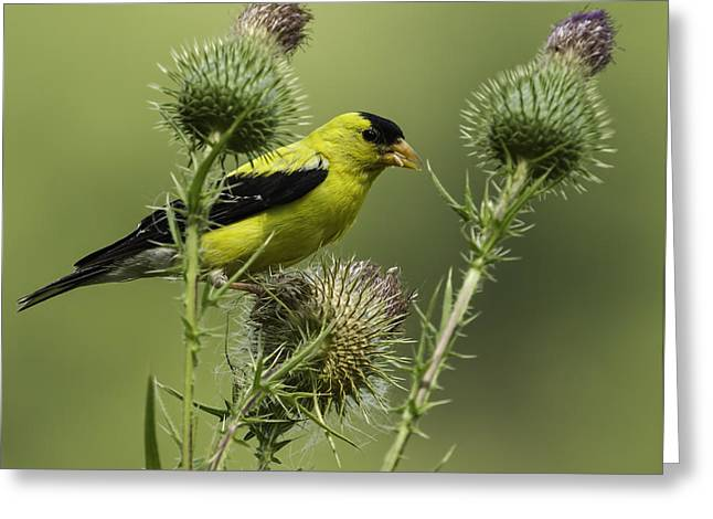 American Goldfinch Eating Thistle Seed Greeting Card