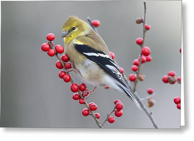 American Goldfinch In Winter Greeting Card by Scott Leslie