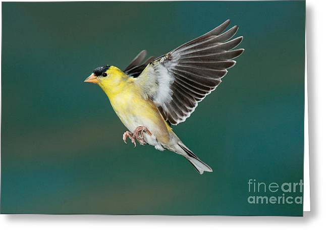 American Goldfinch Male-flying Greeting Card by Anthony Mercieca