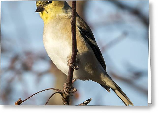 American Goldfinch Greeting Card by Ricky L Jones
